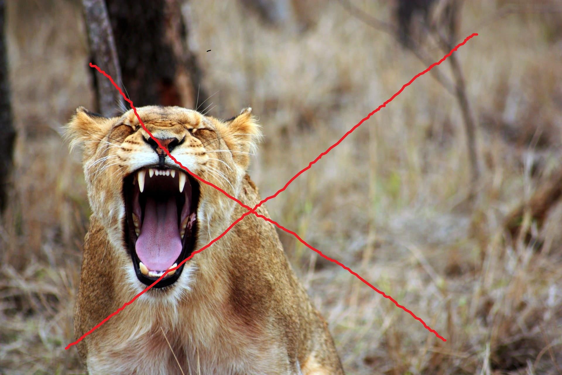 吠えているライオン,画像